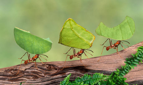 Ants carrying