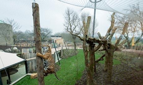 Tiger Territory at London Zoo.