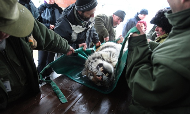 Keepers at the Budapest zoo prepare Manu, one of the three Siberian tigers to be transported to their new home in Gelsenkirchen, western Germany.