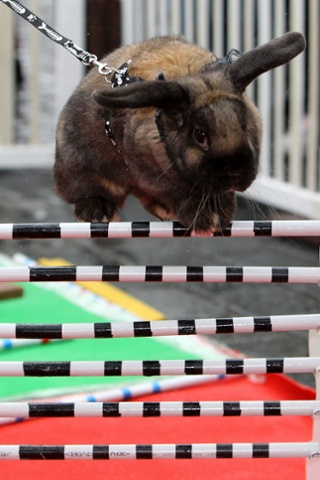 Bunny hop! It's getting near Easter and people all over Europe (this is in Prague, capital of the Czech Republic) get rabbits to do strange things to get on Picture Desk Live! Watch this space. Photograph: David W Cerny/Reuters