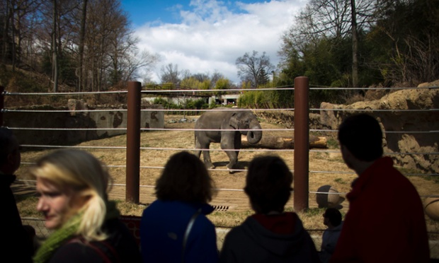 An endangered Asian elephant walks through the National Zoo's newly renovated Elephant Trails exhibit in Washington, DC, USA.