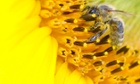 A bee collects nectar from a sunflower on a field near the northern Swiss town of Leibstadt.