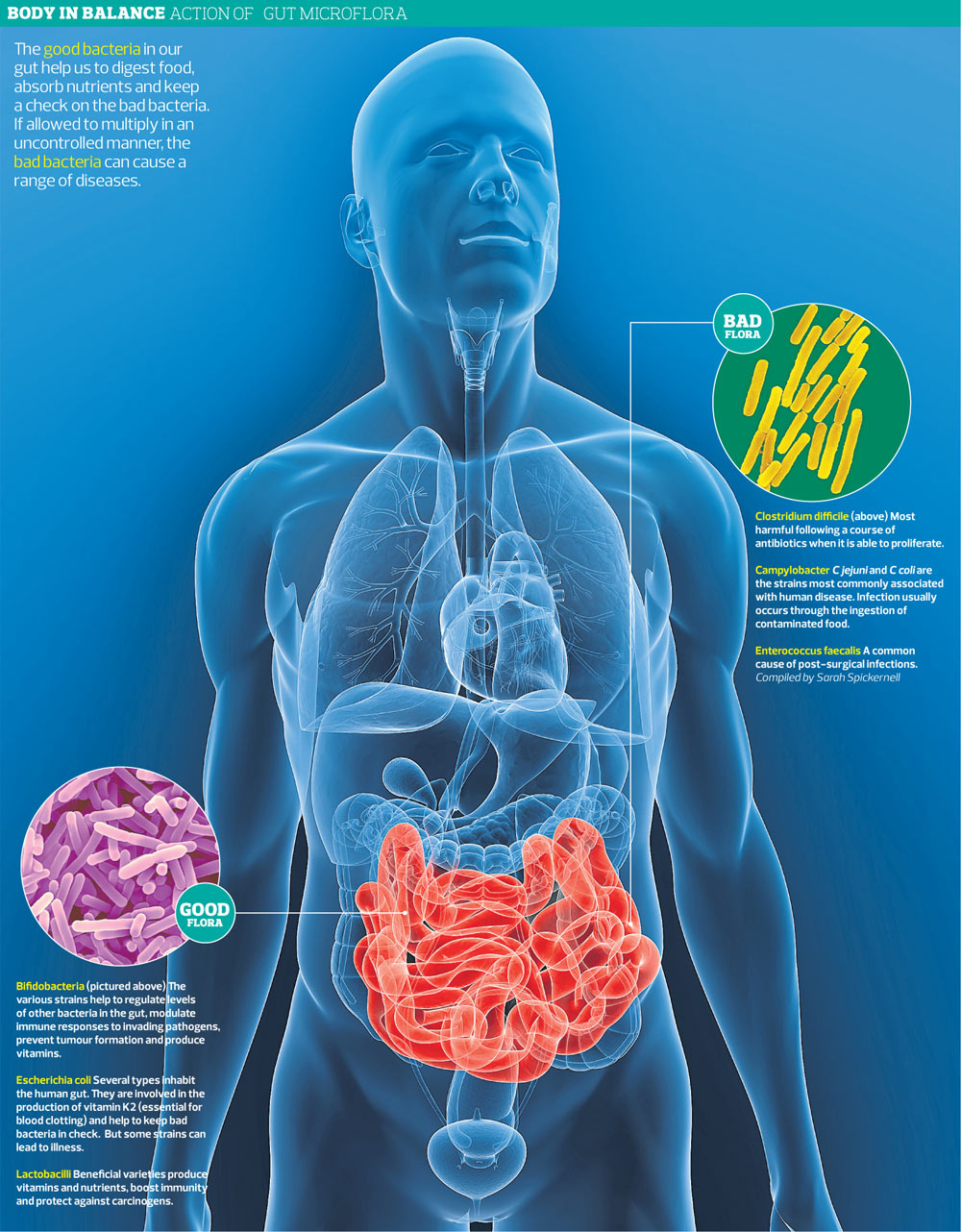 Gut bacteria graphic 001