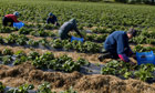 Migrant workers pick strawberries in Norfolk