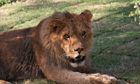 Lion from California sanctuary