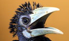 A 2-month-old Oriental Pied Hornbill