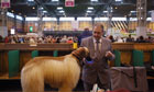 Afghan hound at Crufts