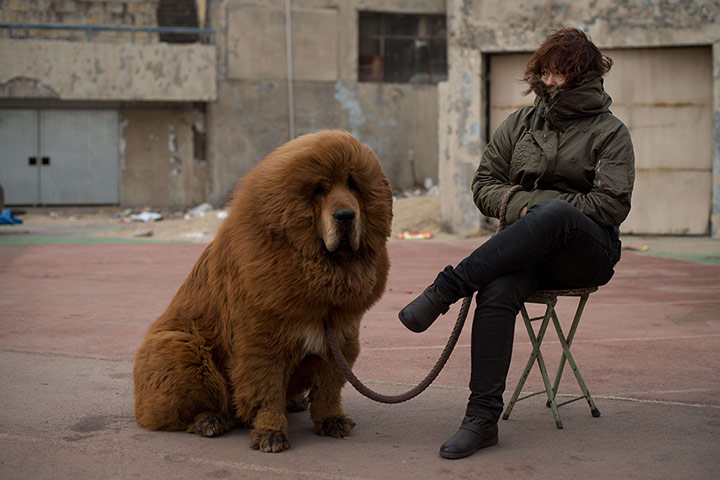 Tibetan mastiff dog show in china in pictures world news the
