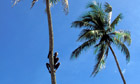 India Kerala A man climb on coconut tree