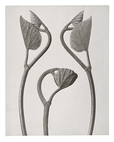 Karl Blossfeldt: Aristolochia, Birthwort - tendril shoots