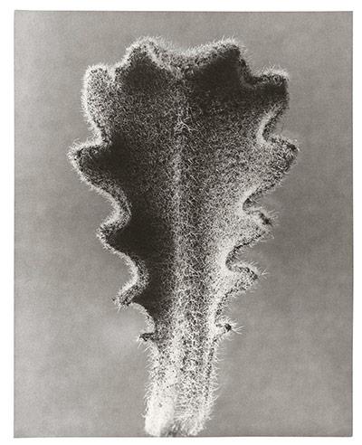 Karl Blossfeldt: Hairy Catsear - young leaf