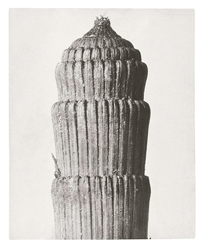 Karl Blossfeldt: Rough Horsetail - top of shoot