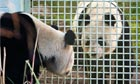 Giant Pandas prepare to mate