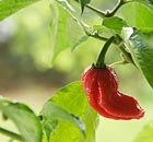 A Dorset Naga chilli pepper