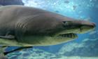 A nurse shark