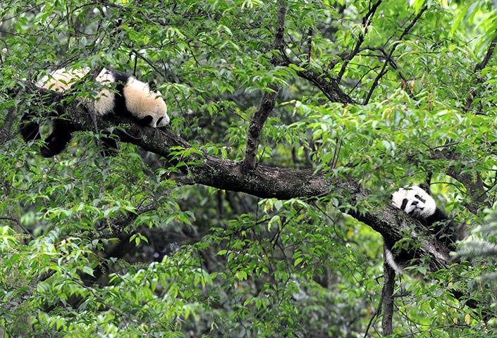 Ya'an, China: Giant pandas sleep on a tree at the ...