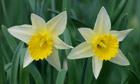 Wild Daffodil, Narcissus pseudonarcissus, Kent, England.