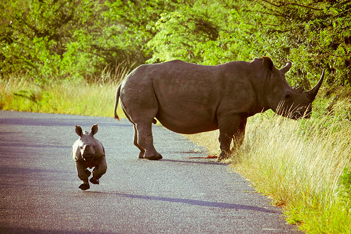 24 hours: St Lucia, South Africa: A baby rhinoceros charges towards the camera