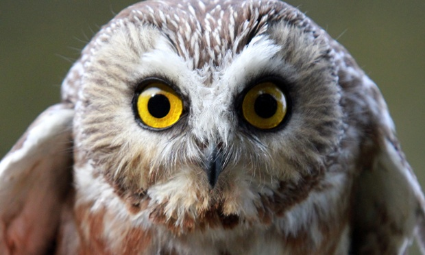 A northern saw-whet owl is released back into the wild after recovering from being hit by a car in Barrington, Rhode Island, US.