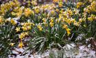 Snow settles on daffodils in Hampstead Heath, London