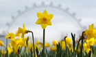 Daffodils in central London on 6 April as temperatures in southern UK scraped close to 10C