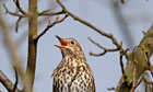 song thrush in a tree