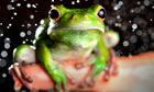 A white-lipped green tree frog