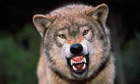 Snarling, not grinning … a wolf.