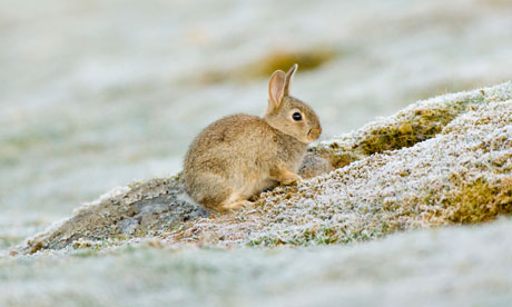 Young rabbit frosty May morning
