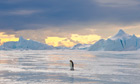 Emperor Penguin on Ice, Antarctica