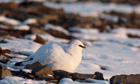 Ptarmigan in winter plumge
