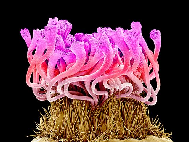 flower micrographs: Easter cactus flower (Rhipsalidopsis gaertneri)
