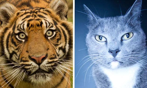 Which Big Cats Have Slitted Eyes