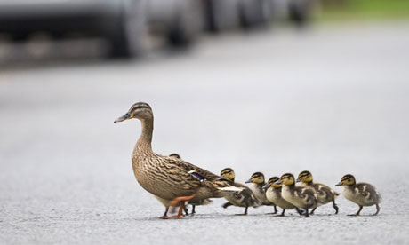 Ducks crossing road