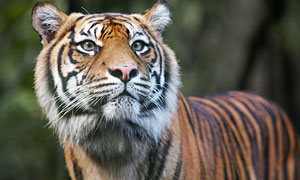 Tiger kills zoo worker in Cumbrian park