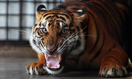 Zoo keeper mauled by tiger 'broke safety rules'...