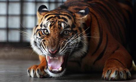 A Sumatran tiger