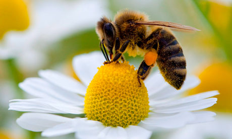 Bee-collecting-pollen