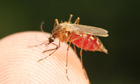 Feeding mosquito with human blood