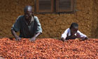 Fermented cocoa beans  in Ghana West Africa.