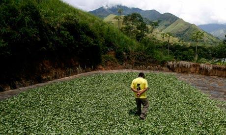A coca farmer walks on coca leaves