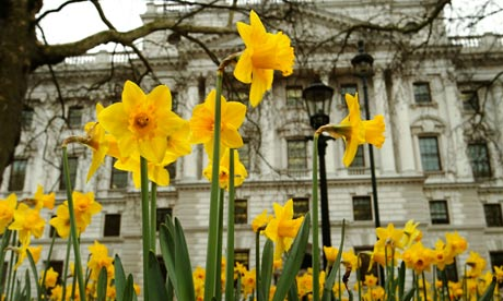 Spring dafoddills in front of the Treasury, Whitehall