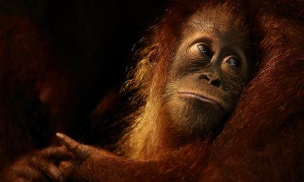 A baby orangutan at Singapore Zoo. The zoo celebrates its 40th anniversary today.