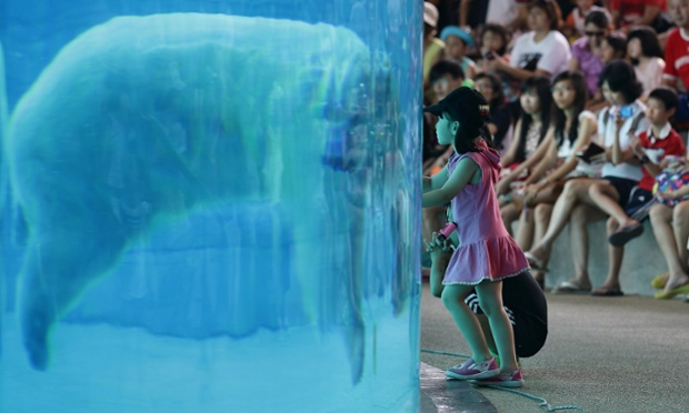 A young girl looks on as 'Inuka' the polar bear swims in the frozen tundra enclosure at the Singapore Zoo.
