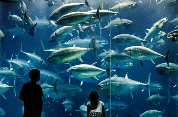 A boy and a girl look at Pacific bluefin tuna fish swimming in an aquarium in Tokyo, Japan.