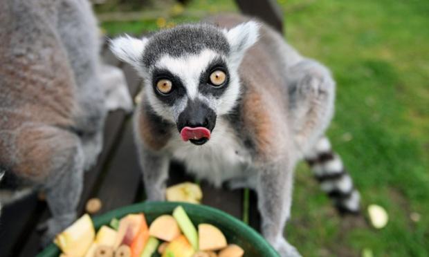world's oldest lemur