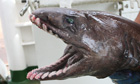 Frilled shark head