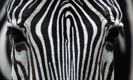 Grevy's Zebra in Frankfurt Zoo