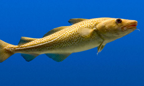 Cod stocks recover after years of overfishing for What is cod fish