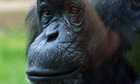 Louis the chimpanzee, who starred as James Bond in PG Tips tea ads